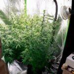 Marijuana-arrests